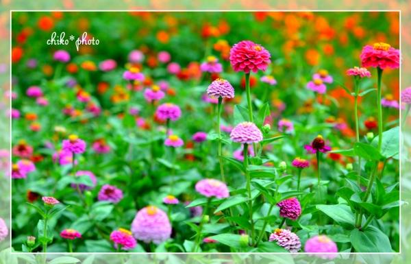 photo-491 カラフル百日草1