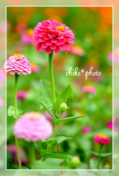 photo-492 カラフル百日草2