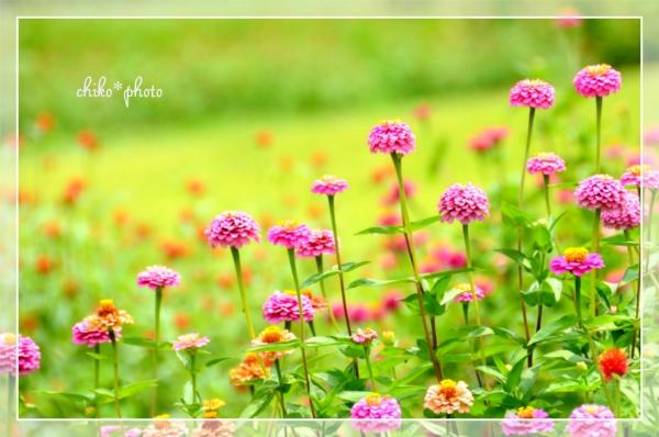 photo-493 カラフル百日草3