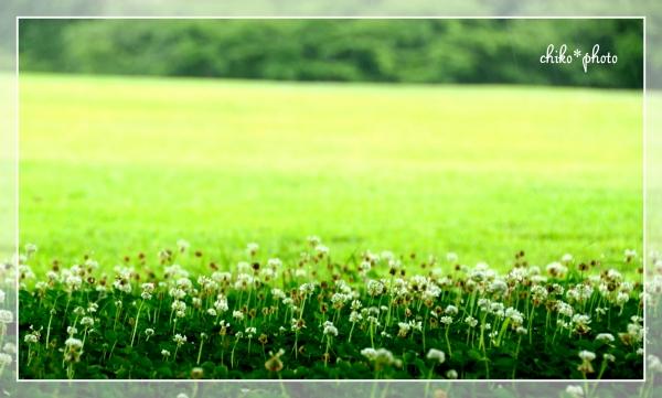 photo-496 夏のシロツメナグサ