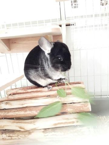 加奈ちゃん、桑の葉を食べる♪