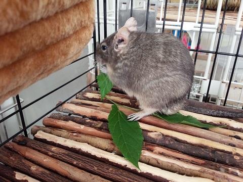 ティノくん、桑の葉を食べる♪