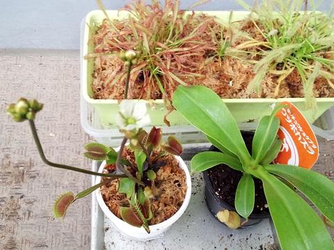食虫植物たち20140517