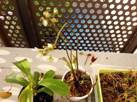 ハエトリソウ(食虫植物)20140524