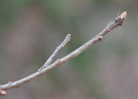 シャクガ幼虫