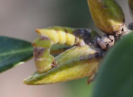 カギシロスジアオシャク幼虫か