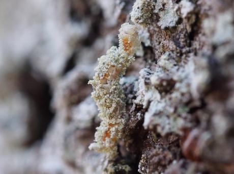 シラホシコヤガ幼虫か