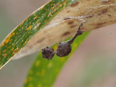 イセキグモ卵嚢2
