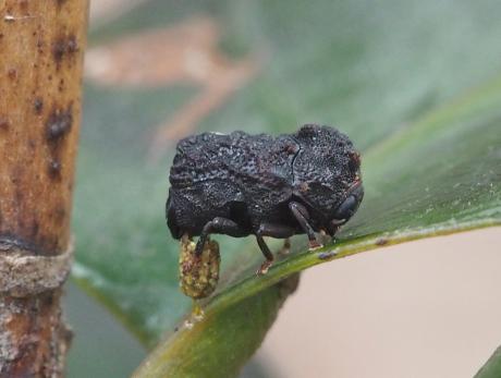 ツバキコブハムシ産卵2