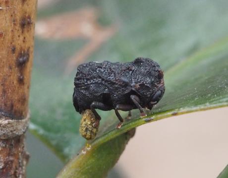 ツバキコブハムシ産卵3