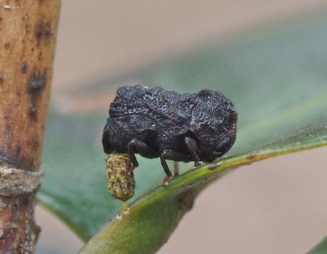 ツバキコブハムシ産卵4