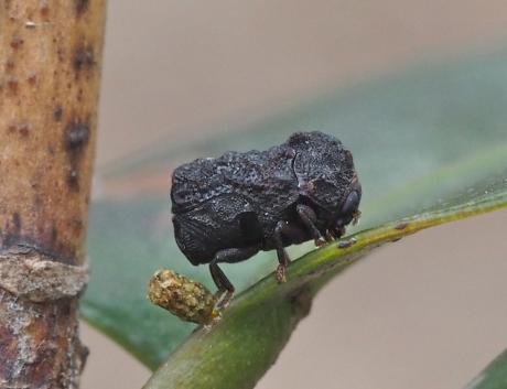 ツバキコブハムシ産卵5