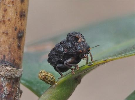 ツバキコブハムシ産卵6