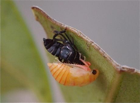 クロヒラタヨコバイ幼虫か