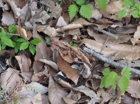 マメイタイセキグモ卵嚢2