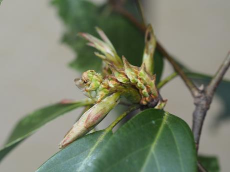 カギバアオシャク幼虫6