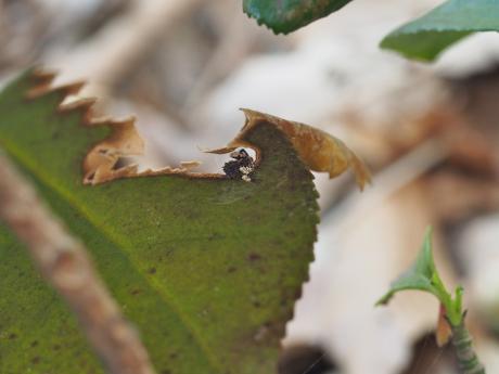 カトウツケオグモ