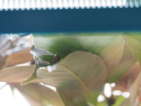 カギバアオシャク幼虫7