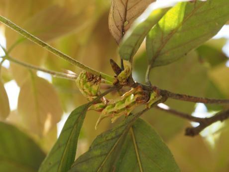 カギバアオシャク幼虫8