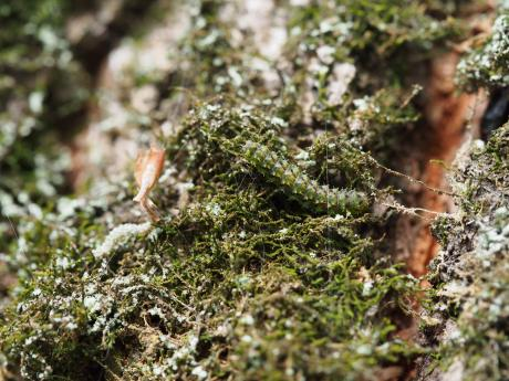 クロミツボシアツバ幼虫か