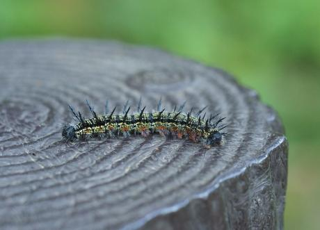 ヒオドシチョウ幼虫