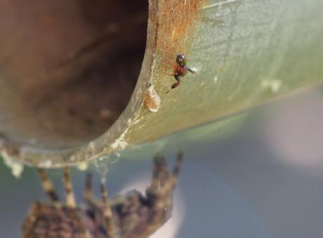 オニグモ&キレワハエトリ