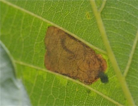 ダンダラチビタマムシ幼虫