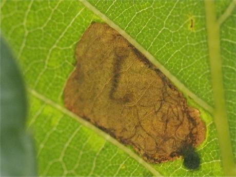 ダンダラチビタマムシ幼虫2