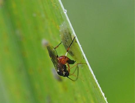 ヒラタアブヤドリヒメバチ