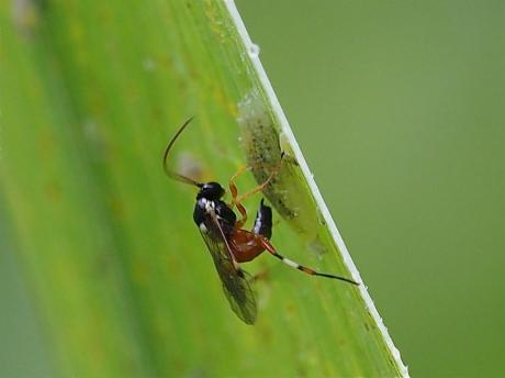 ヒラタアブヤドリヒメバチ2