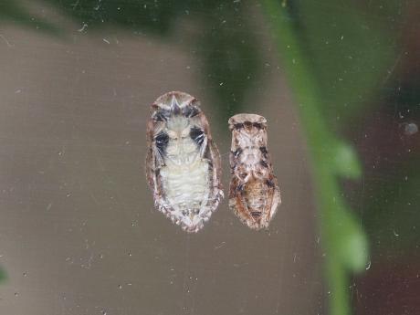 ミミズク幼虫2