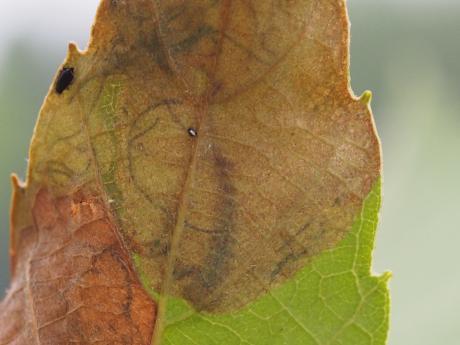 ダンダラチビタマムシ産卵痕2