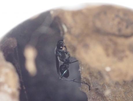 ヤマトルリジガバチ7