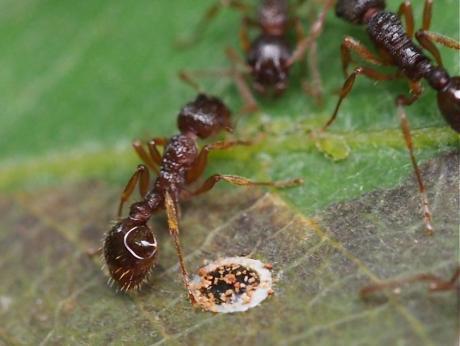 アリ&ダンダラチビタマムシ産卵痕2