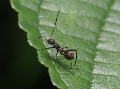 ホソヘリカメムシ幼虫3