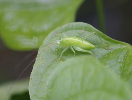 クビキリギス幼虫の一種か