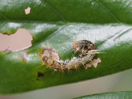 モンウスギヌカギバ幼虫か2