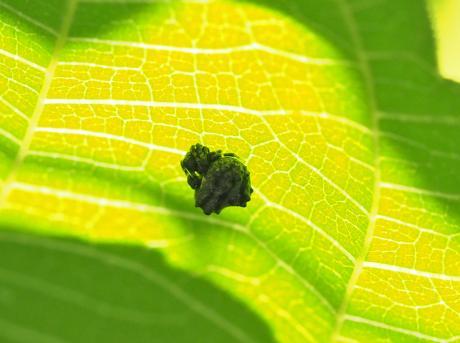 マメイタイセキグモ幼体