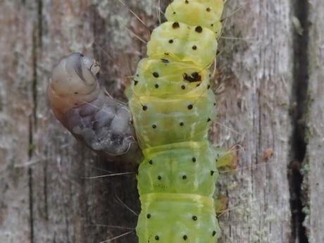 寄生ハチORハエ幼虫