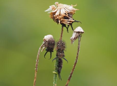 ツノトンボ幼虫