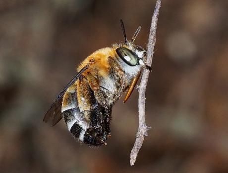 スジボソコシブトハナバチ