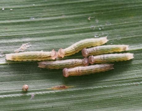 サトキマダラヒカゲ幼虫