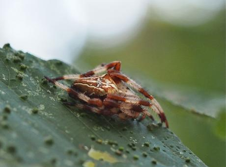イシサワオニグモ