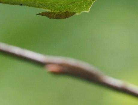 コミミズク幼虫脱皮殻