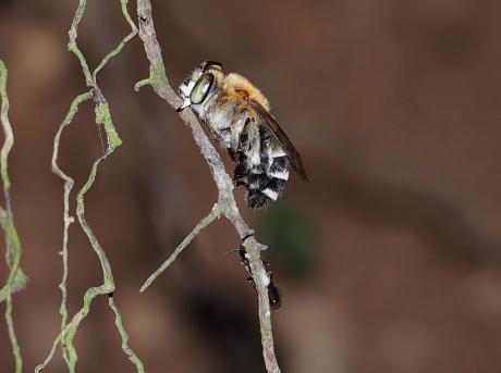 スジボソコシブトハナバチ&ハチ