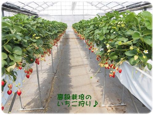 高設栽培のいちごハウス