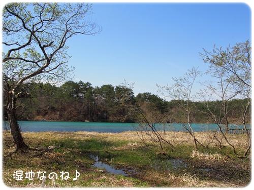五色沼の周りは湿地