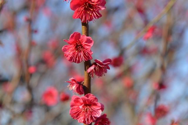 s-2014,03,16 大阪城公園 梅林 017