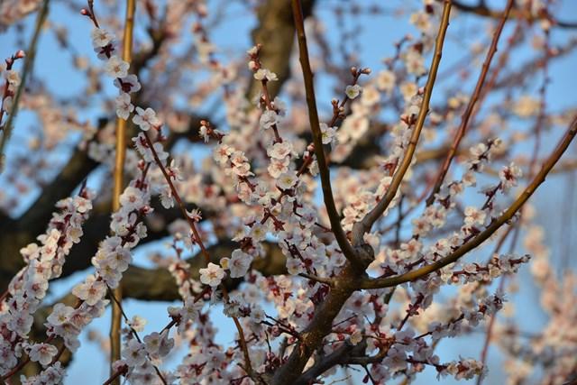 s-2014,03,16 大阪城公園 梅林 120