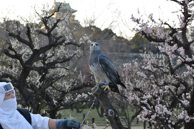 s-2014,03,16 大阪城公園 梅林 135
